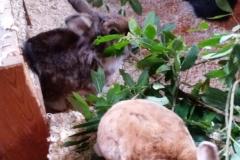 Tuggmotstånd för kaniner