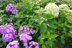 Hortensian ´Limelight´ passar med lila