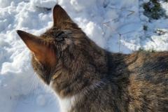 Lynx funderar över nästa drag